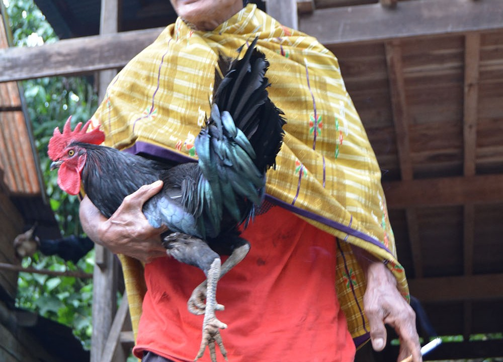 Typical of local coffee farmer play with his rooster chicken after finishing his hardwork of picking coffee during the big harvest day.