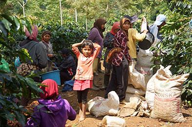 Para perempuan buruh petik kopi di desa Wening Galih Ciwide. Sampai hari ini di kota penggemar kopi tidak tahu mereka. Karena sebagian besar kedai kopi memajang mesin modern dari pada identitas petani kopinya. Peminum kopi kita berkesadaran apakah?